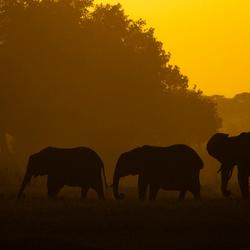 Olifanten bij zonsondergang Amboseli NP ( Kenia )