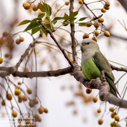 Lovebird op Madagaskar