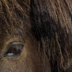 Ijslands paard
