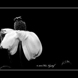 Bee on the black flower.