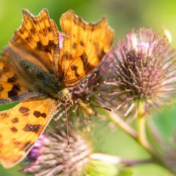 Gehakkelde aurelia (vlinder) op grote klis