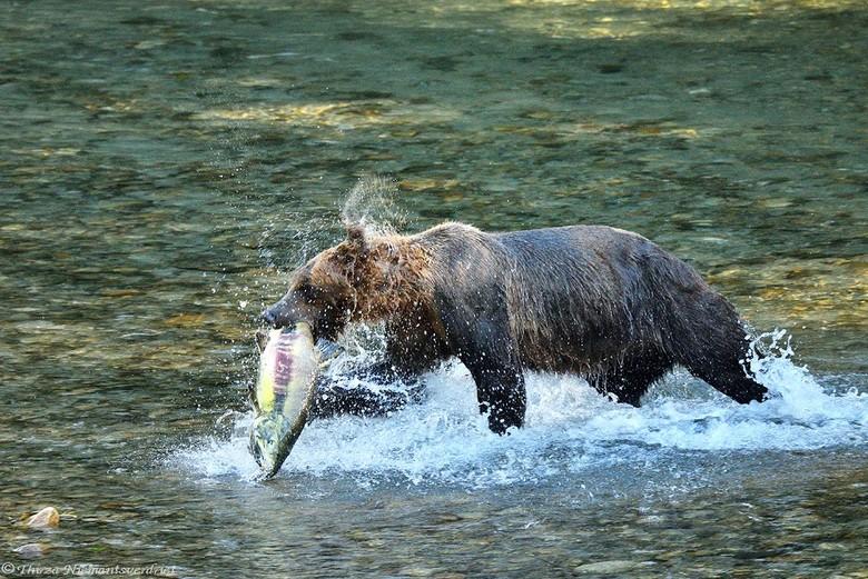 Catch of the Day - Een grizzly is op jacht in het ondiepe water bij een rivier in de Bute Inlet. Een ongerept natuurgebied en indianenreservaat. Allee