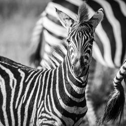 Young zebra in Kruger Park