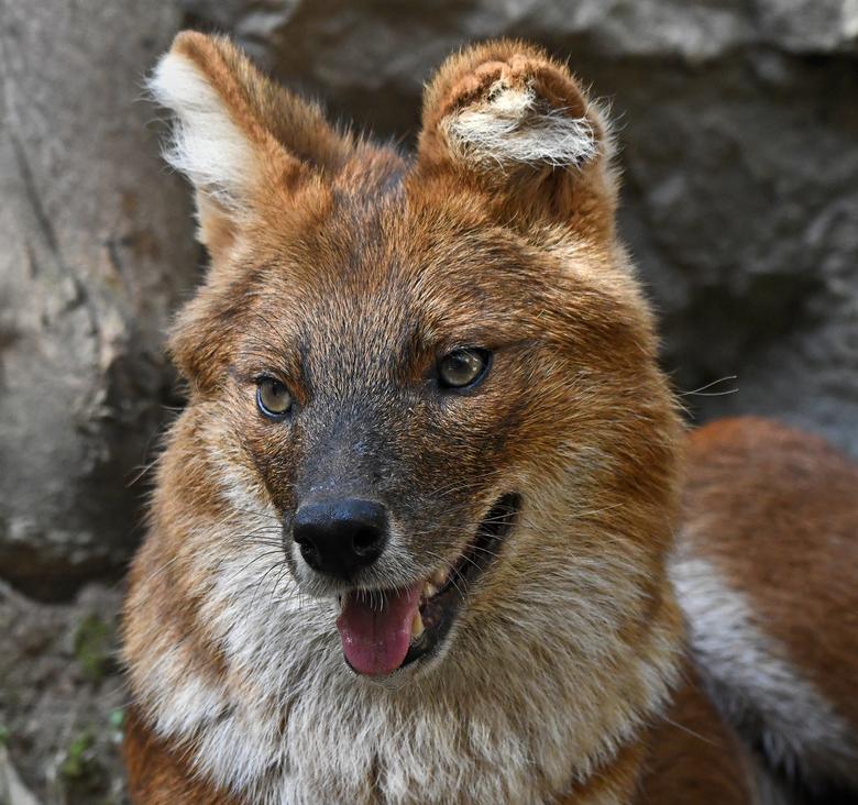 schijn bedriegt - De dhole of Aziatische wilde hond heeft een leuk koppie. Maar het zijn echte roofdieren. Dhole's jagen in roedels, zoals wolven