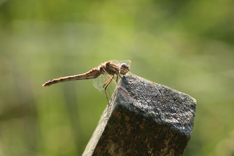 Wind mee... - Libelle in de wind, Echten Drenthe