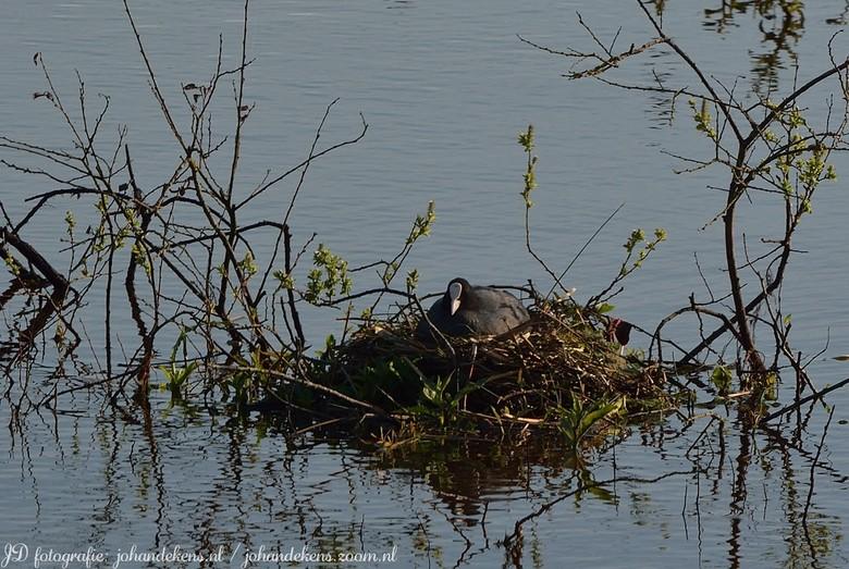 Meerkoet op nest -