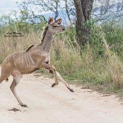 Koedoe in Zuid-Afrika