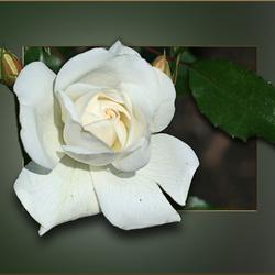 Een Roos..3