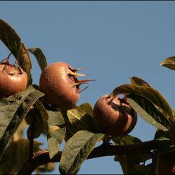 Mispel een vergeten vrucht