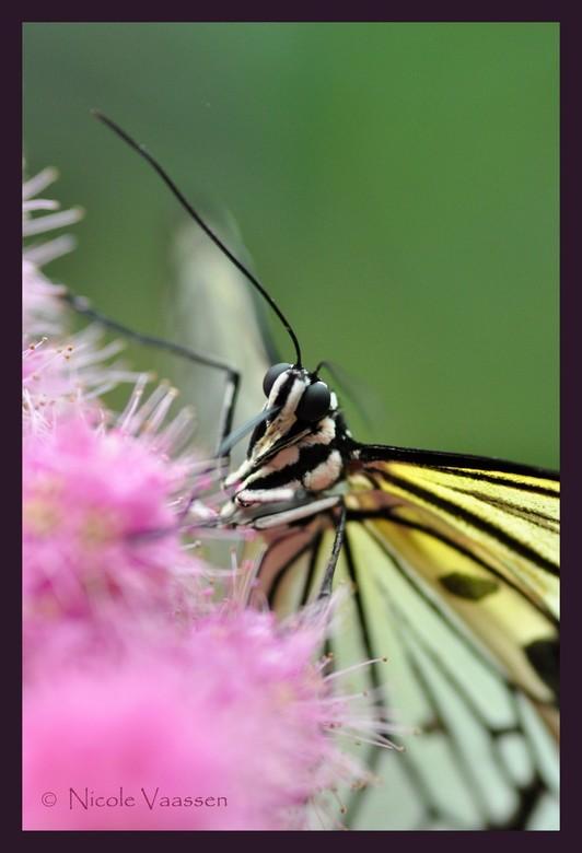 geel-witte vlinder - gemaakt in de vlindertuin in Jonsdorf, Duitsland. Geen idee hoe hij heet, zal de volgende keer opletten