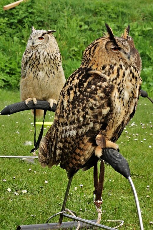 uil en co - Tijdens de Vestingdagen in Grave onlangs waren er ook roofdieren een show gaven.. Ze zijn erg mooi, in de vrije natuur nog mooier..