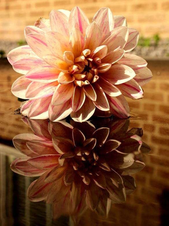 Dahlia spiegeling - De dahlia ligt hier op een zwarte natte steen