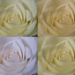 Kwartet rozen