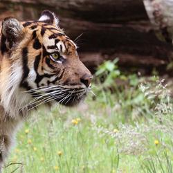 tijger lief :-)