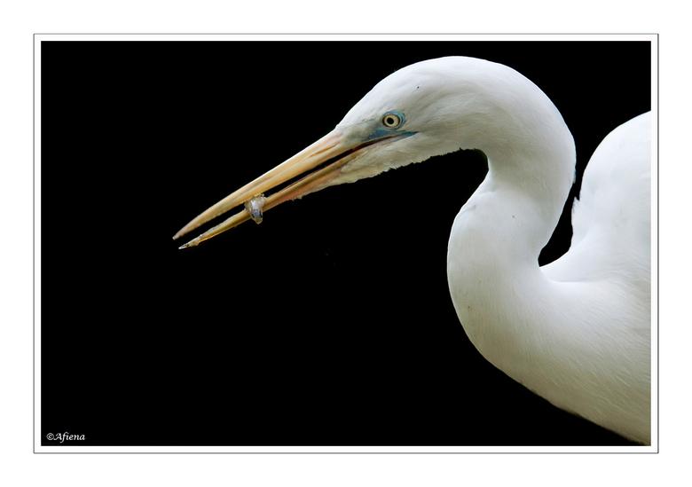 Borrelhapje.... - Van die hele emmer vis die werd uitgedeelt aan de vogels in de Emmer Dierenpark kon ik slechts dit ene borrelhapje in de snavel van