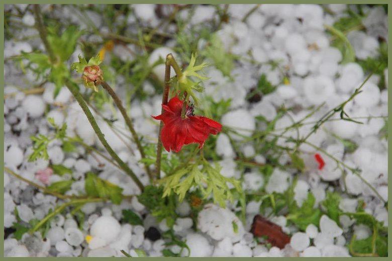 Getroffen - Ook een kleine bloem kan niet ontkomen aan hagelstenen zo groot als een knikker.
