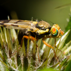 Speerdistelboorvlieg