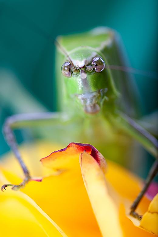 Grasshopper - De MP65 gebruikt met focus op de ogen.