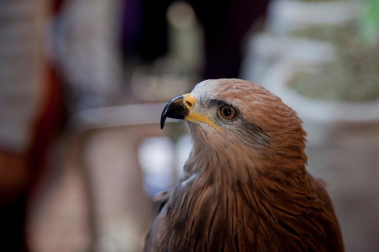 Hawk eye - Hawk
