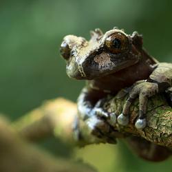 Spiny-headed Tree Frog