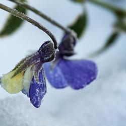 Winterviooltjes