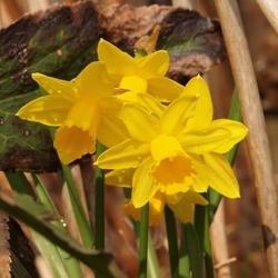 Narcissen eindelijk een beetje lente