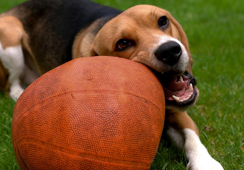 Basketballen - Mijn Beagle Sep heeft maar 1 hobby, en dat is basketballen slopen!