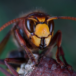 Europese hoornaar (vespa crabro)