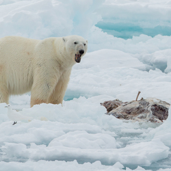Polarbear in the Arctic