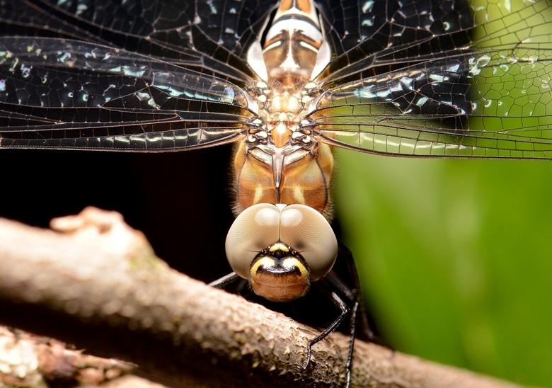 Smiley Dragonfly - Nog een welkom bezoeker in de tuin! Het begon wel een beetje donker te worden onder de boom, dus moest ik de ringflitser gaan halen