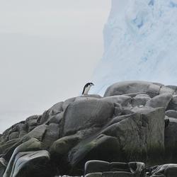 Bewerking: Kinneband pinguin op Melchior Island