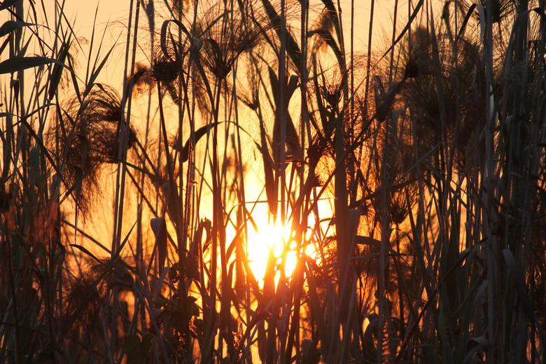 Papyrus sunset - Een ondergaande zon door het papyrus genomen in de Okavango Delta in Botswana