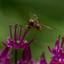 Een zweefvlieg op de sierui