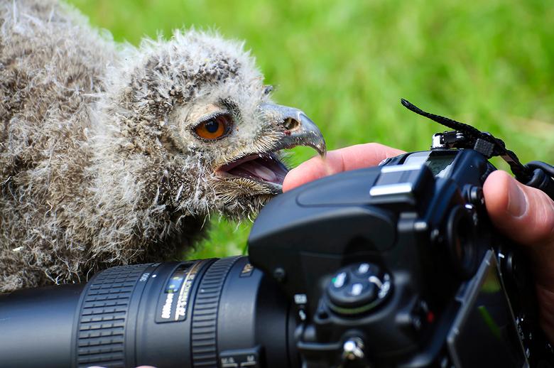 jonge oehoe - Niet ongevaarlijk, het fotograferen van roofvogels