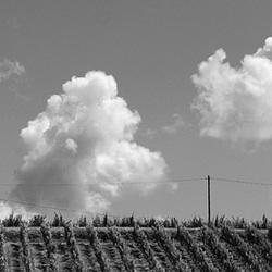 Wijnlandschap in zwart/wit