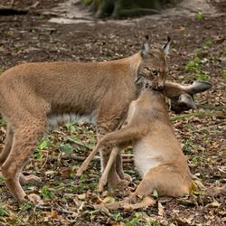 Lynx met ree