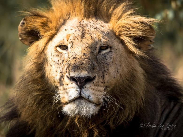 Flies everywhere.... - Leeuw in Masai Mara. Let vooral op de hoeveelheid vliegen op zijn kop.