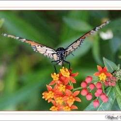 Vlinder in startpositie