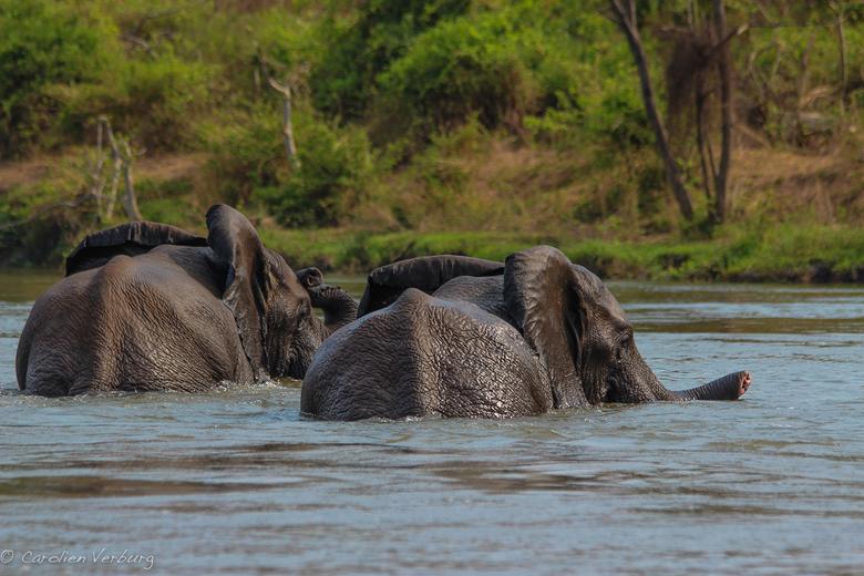 Olifanten in Majete Wildlife Reserve - Prachtige olifanten in de Chire rivier in Majete Wildlife Reserve, Malawi.