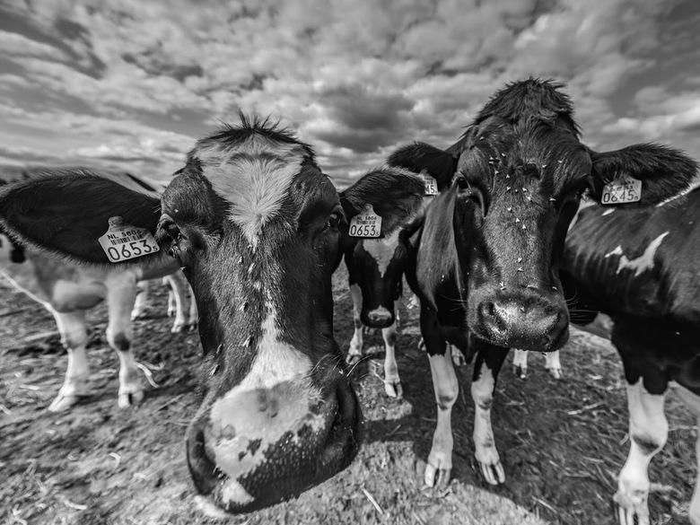 Twee pinken - Twee jonge koeien