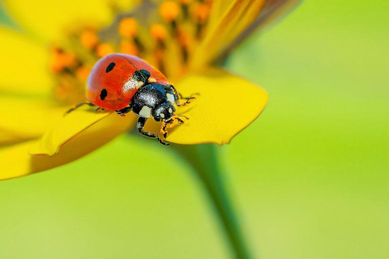 Lieveheersbeestje - Hij had met zijn kop in het stuifmeel gezeten
