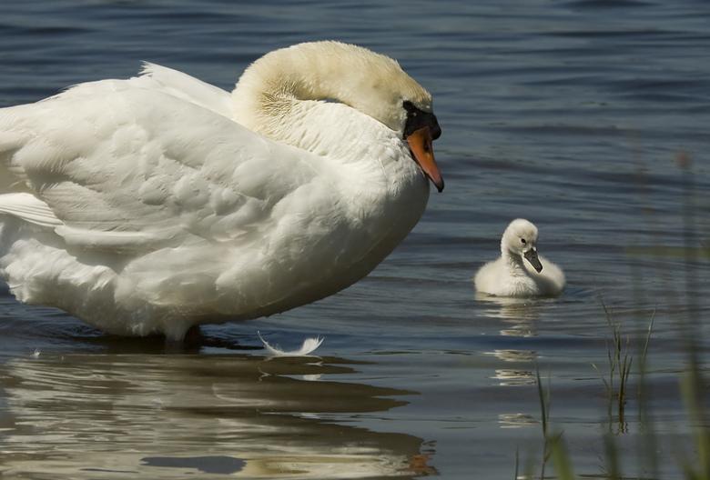 moeder en kind - Moeder en kind zwaan.<br /> helaas heeft dit koppel zwanen maar 1 ei uitgebroed.
