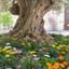 olijfboom op Majorca