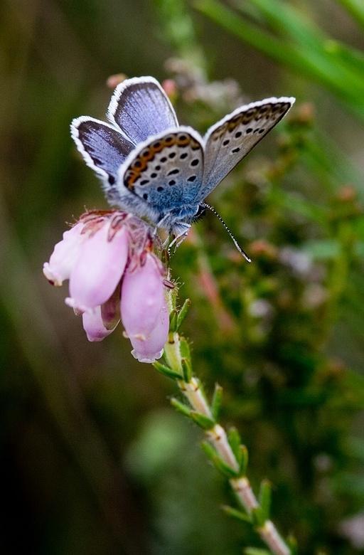 Heideblauwtje I - Nogmaals het heideblauwtje, maar nu zat ie helaas omgedraaid op een bloem.