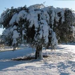 Olijfboom in de sneeuw.....