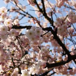 roze bloemen boom