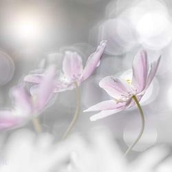 bokeh anemonen