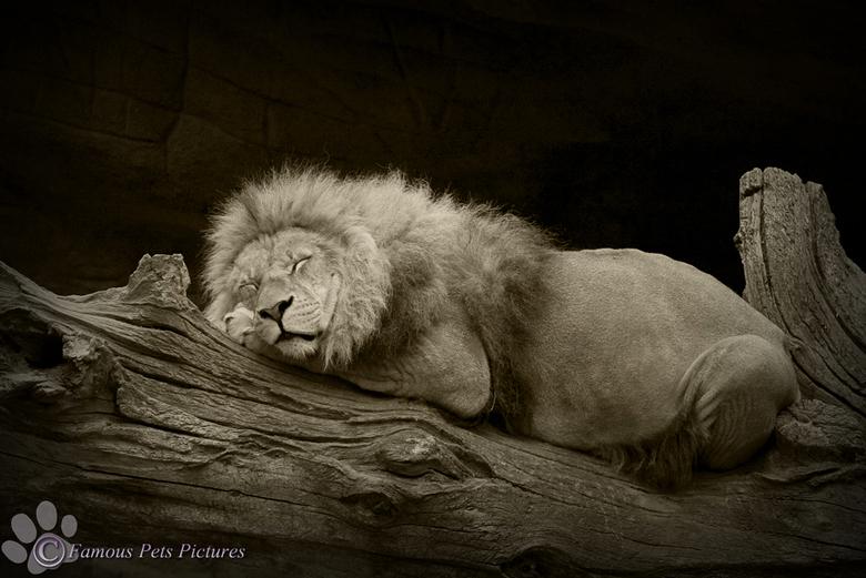 Sleeping lion - Lief slapend leeuwtje in de dierentuin van Hamburg. Nog niet veel nieuws gemaakt, dus deze oude foto bewerkt.<br /> <br /> Fijne zon