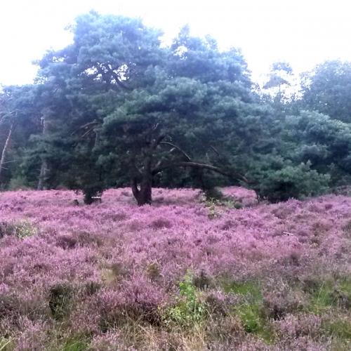 Heide veld op Het Hulsbeek -