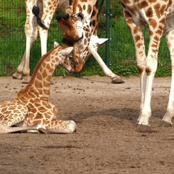 Giraffe baby